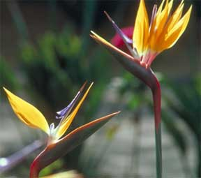 Flowering Bird of Paradise and foliar feeding