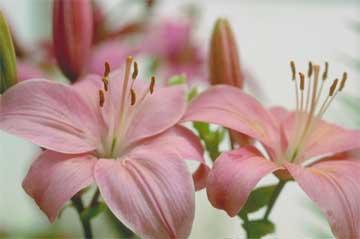Daylilies Hybrid pinks