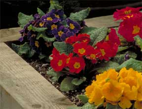 assorted primroses in flower