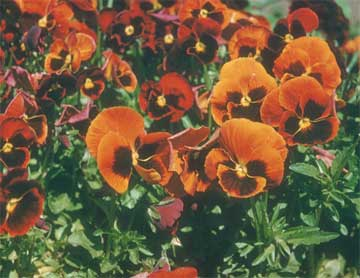 orange pansy or violas in the landscape