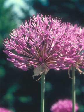 Ornamental Garlic