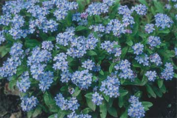 forget me not's showing their color