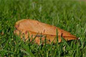 leaf a on lawn