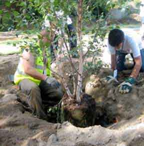 Plant trees in a hole about twice the size of the rootball