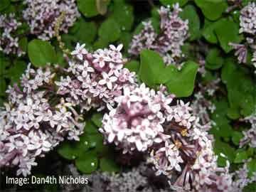 Dwarf Korean lilac - Syringa meyeri