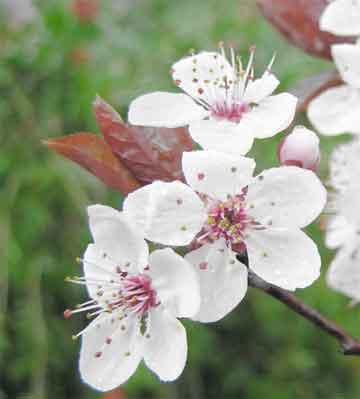 flowering plum grown more for the ornamental value