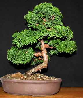 Hinoki cypress chamaecyparis
