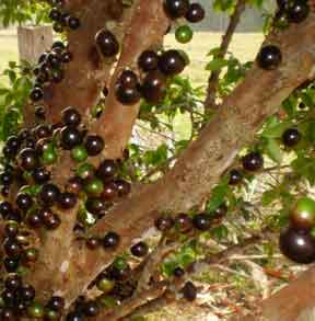 Jaboticaba - Myrciaria cauliflora