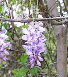Japanese Wisteria is a popular ornamental vine