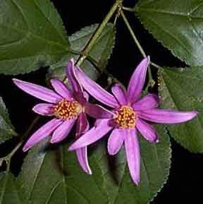 Lavender Star Flower s native to Australia and Africa