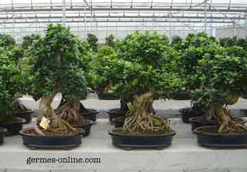 ligustrum evergreen shrub to make hedges and bonsai privet