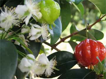 surinam cherry eugenia uniflora