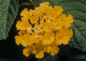 colorful yellow lantana