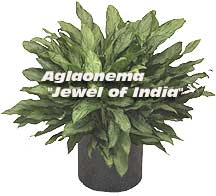 New coll temperature Aglaonema Jewel of India