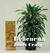 Dracaena used for Indoor decoration