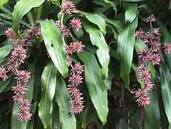 Dracaena fragrans