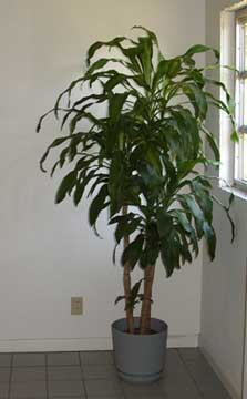 Dracaaena fragrans growing happily in a home with plenty of sunlight