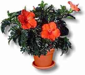 hibiscus,hibiscus flower,hibiscus picture,hibiscus plant