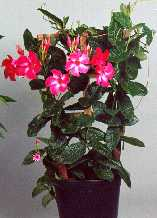 Mandevilla Ruby Red