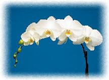 phalaenopsis, phalaenopsis orchid care