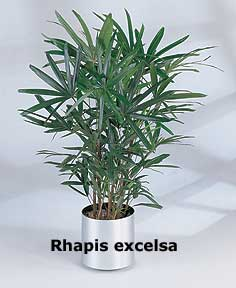 Lady Palm or Rhapis excelsa