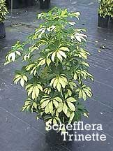 Cyperus alternifolius - Umbrella Plant - Cyperaceae