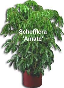 Schefflera arboricola, dwaf schefflera, arboricola, arb, dwarf scheff
