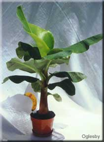 how to take care of banana plant indoor
