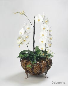 white phalaenopsis moth orchid basket - White Flowering House Plants