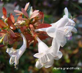 blooming Abelia grandiflora