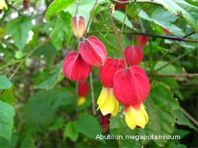 pendulous flowers of Abutilon megapotamicum