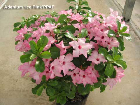 A new desert rose Adenium Ice Pink for more color on the patio or deck