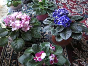 assorted african violets in bloom