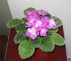 African violet on an end table
