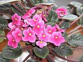 african violet pink bloomer