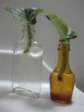 African violet rooting in water