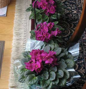 group of rose colored african violets blooming in the living room