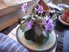African violet soaking up water from below