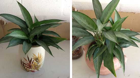 Aglaonema growing in SIP in 2 planters