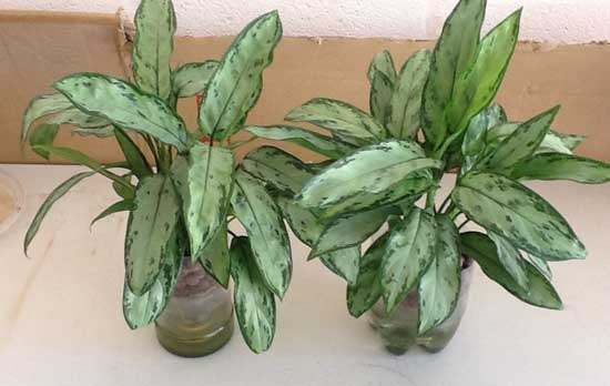 Aglaonema Jewel of india growing in SIP's
