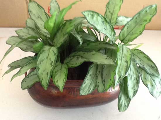 Aglaonema jewel of India placed in planter