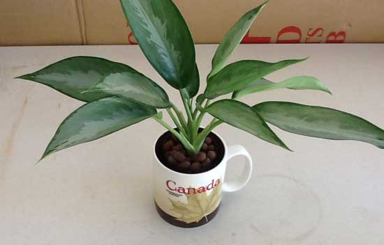 Aglaonema Growing in SIP cache pot coffe cup