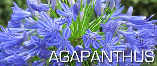 blooming blue Agapanthus