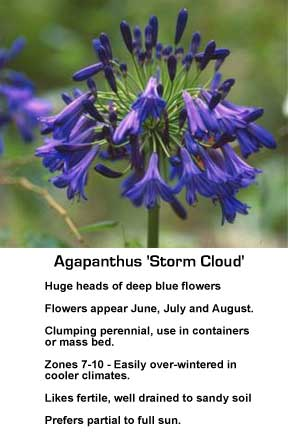 dark blooming Agapanthus storm cloud