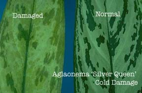 aglaonema-cold-damage.jpg