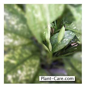 Unopen aglaonema flower on 10 inch plant