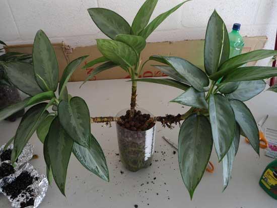 Aglaonema silverado growing wide