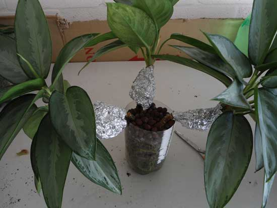 Aglaonema silverado wrapped with air-layers