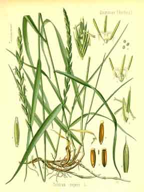 agropyron repens