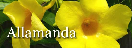 yellow flower of Allamanda